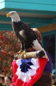American Bald Eagle at Gatlinburg Veterans Day Celebration